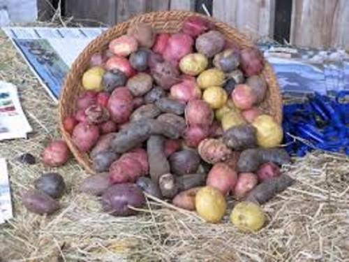 140p chiloe ziemniaki