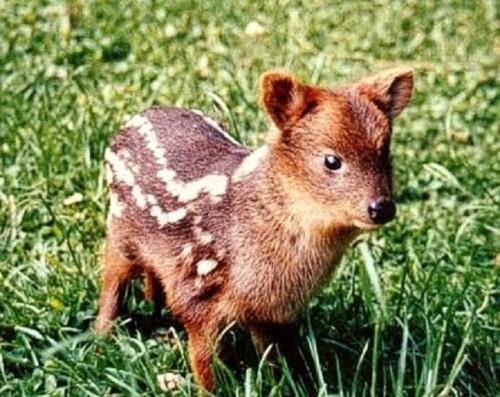 107r el pudu najmniejszy jelonek na swiecie