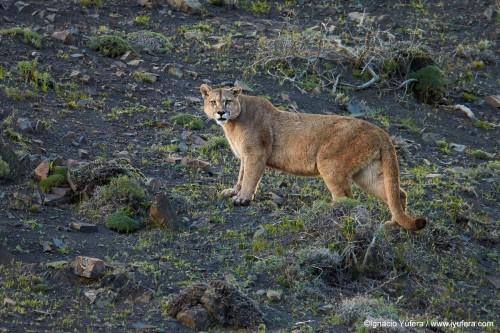 Puma (Puma concolor), adult male, Torres del Paine National Park, Chile, November.